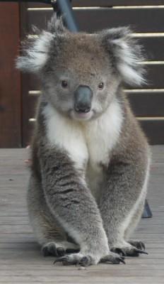koala on deck