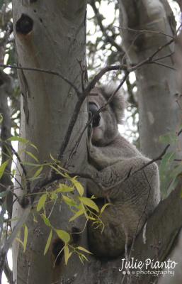 koalaintree2